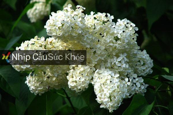 Hình ảnh hoa tử đinh hương