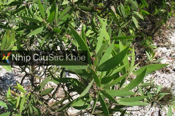 Cây Tràm là cây gì?