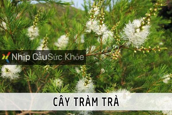 Cây Tràm trà (Tràm Úc)