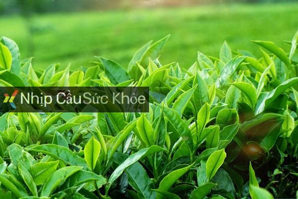 Lá trà xanh để làm tinh dầu