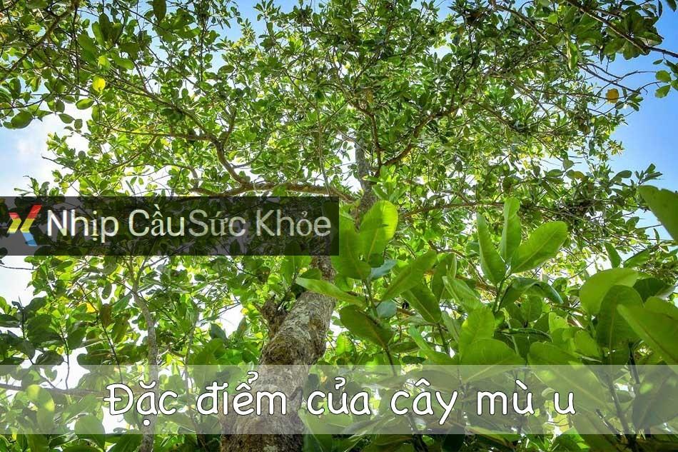 Đặc điểm của cây mù u